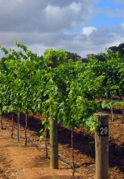 Our Cabernet Sauvignon vines